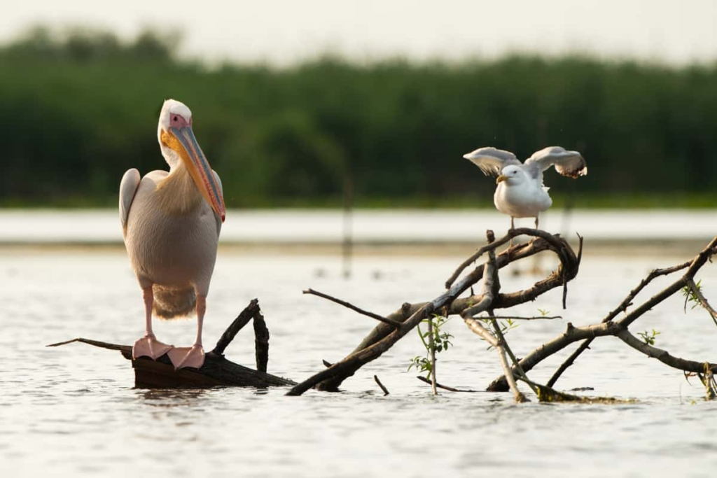 Yellow-legged gull and a white pelican (Pelecanus onocrotalus) waiting patiently for the fisherman to empty his nets, Danube Delta, Romania.