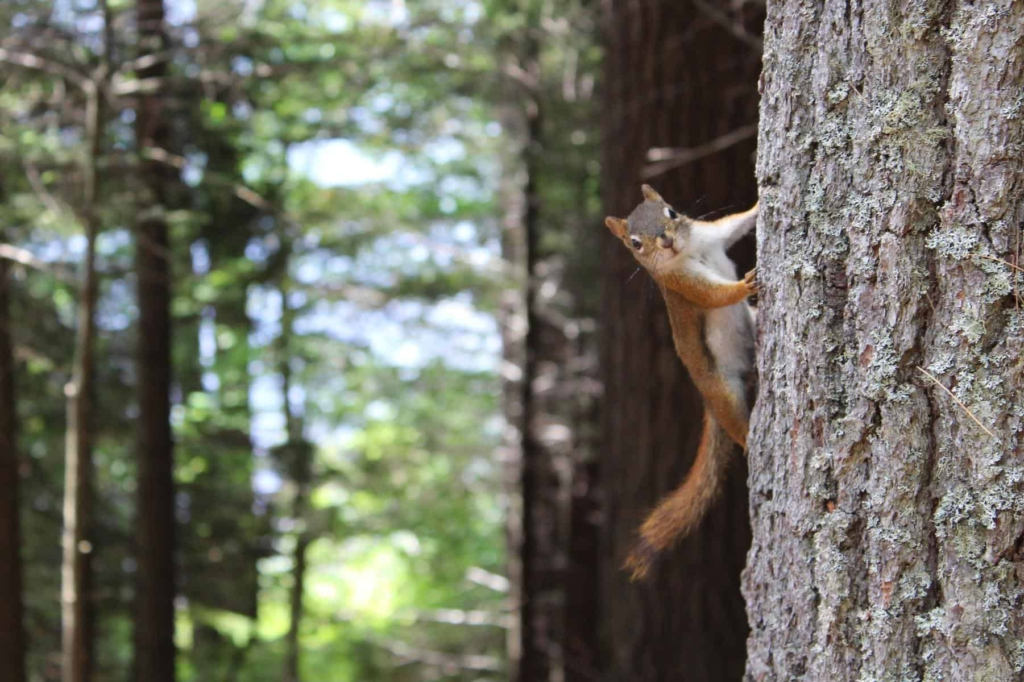 Squirrel, Tree, Forest