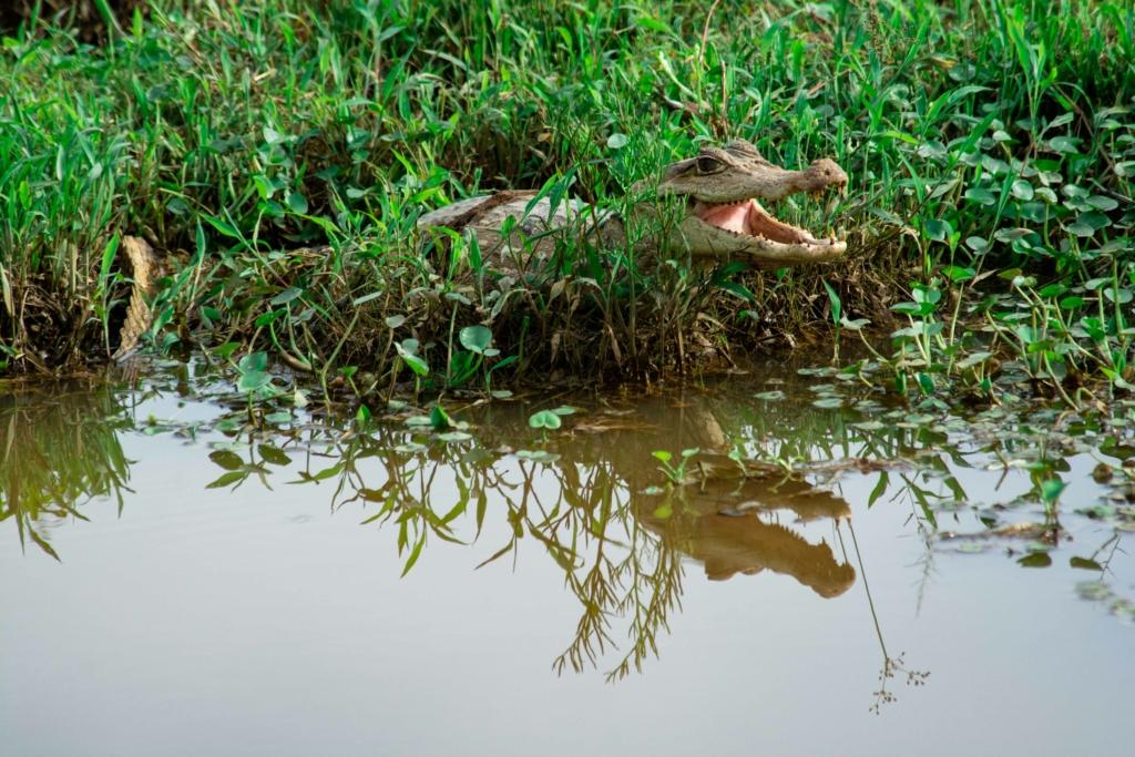 Crocodile in mangrove landscape