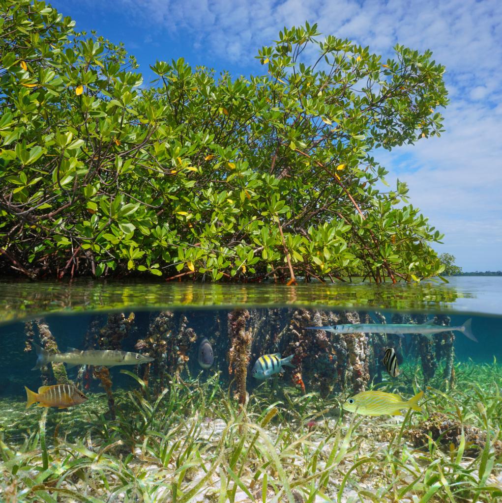 Mangrove under water, fish