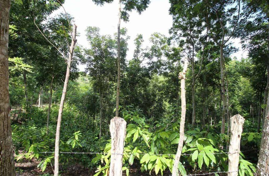 LARGE-SCALE-MECHANIZED-COCOA-PLANTATION-DOMINICAN-REPUBLIC-5-1024x683